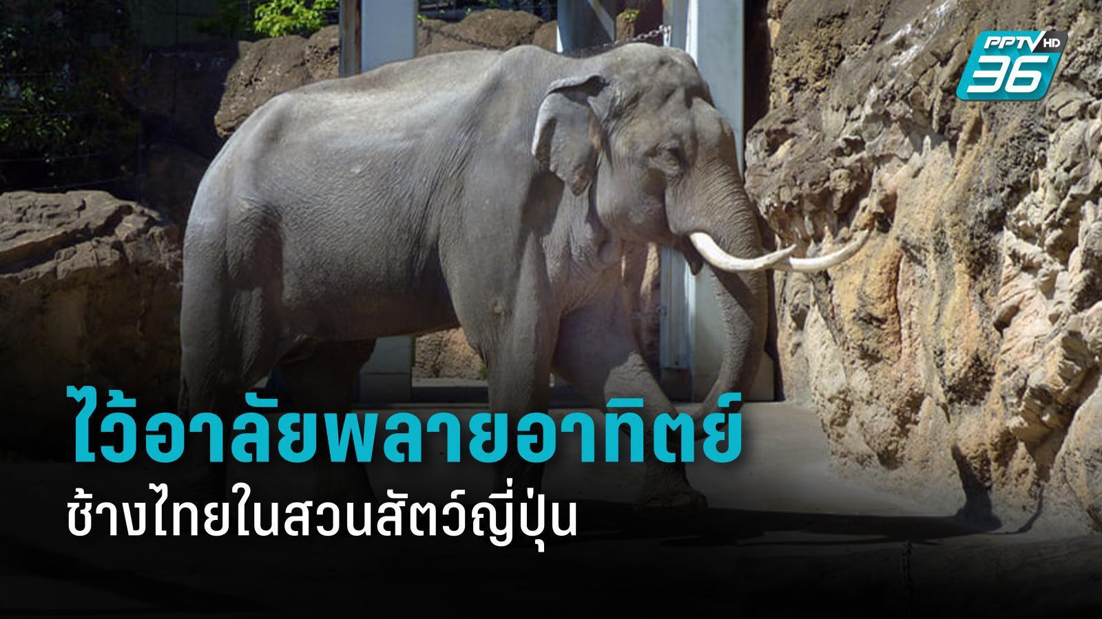 ไว้อาลัย พลายอาทิตย์ ช้างไทยในสวนสัตว์อุเอโนะ