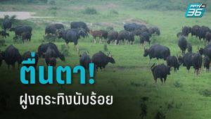 แห่แชร์! ภาพฝูงกระทิง 200 ตัว ลงกินหญ้า อุทยานแห่งชาติกุยบุรี