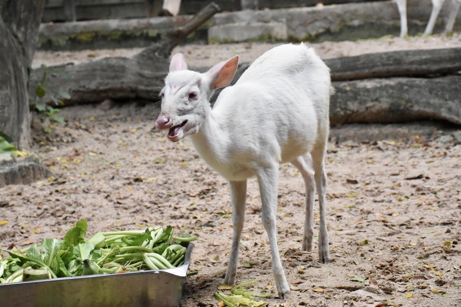 """สวนสัตว์เขาเขียว เปิดตัว """"นวล"""" ลูกเก้งเผือก วัย 9 เดือน"""