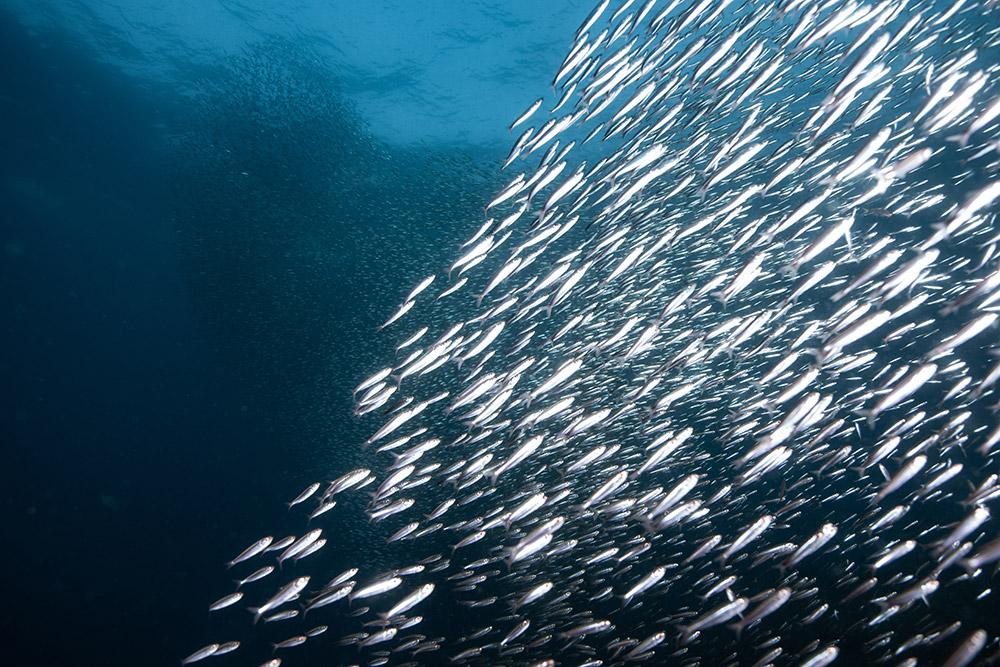 คลายข้อสงสัย กินน้ำมันปลาอย่างไร ห่างไกลป่วยติดเชื้อง่าย