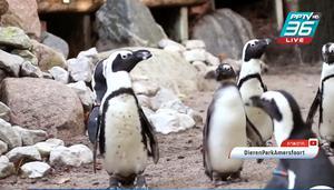 เพนกวินคู่เกย์ในเนเธอร์แลนด์แย่งรัง-ขโมยไข่คู่เลสเบี้ยน