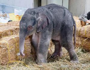 เปิดภาพ ลูกช้างไทยตัวแรก ที่เกิดในสวนสัตว์ญี่ปุ่น