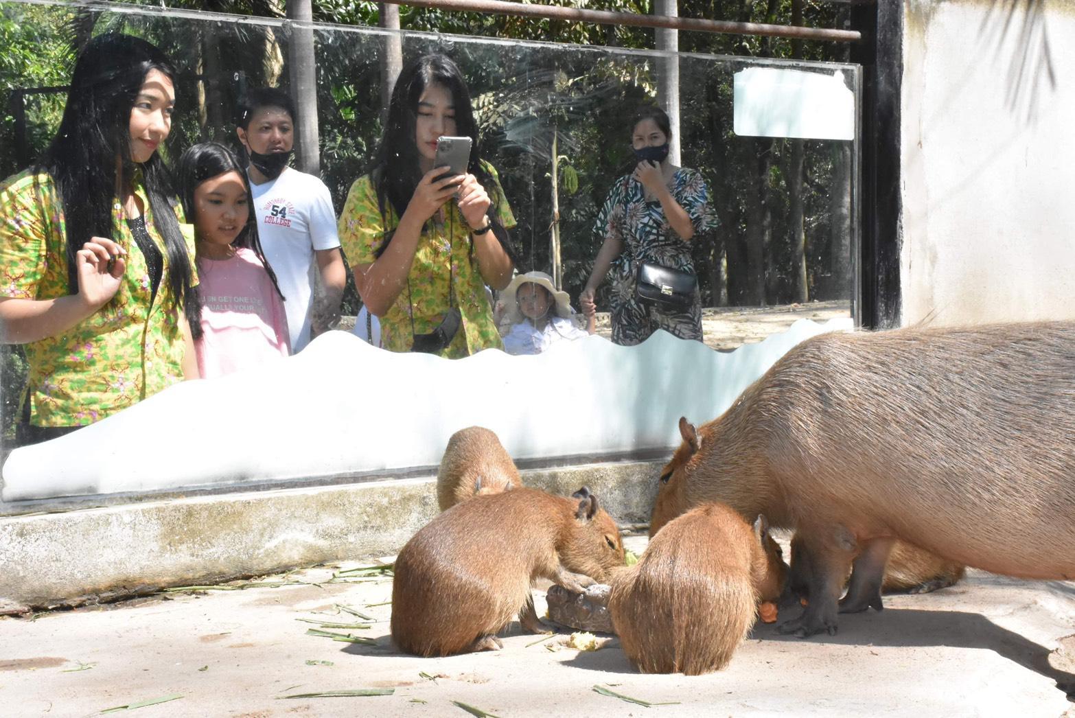 """สวนสัตว์เขาเขียว เฮ ! ต้อนรับ น้องใหม่ """" ลูกคาปิบาร่า """" หนูยักษ์ ใหญ่ที่สุดในโลก"""