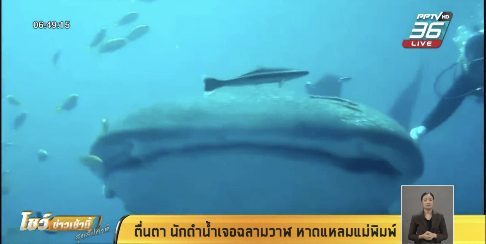 ตื่นตา นักดำน้ำเจอฉลามวาฬ หาดแหลมแม่พิมพ์