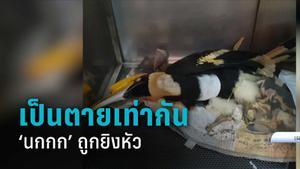 """""""นกกก"""" เกาะช้าง ถูกยิงหัว สัตว์แพทย์เผยอาการล่าสุด ชี้อาจพิการตลอดชีวิต"""