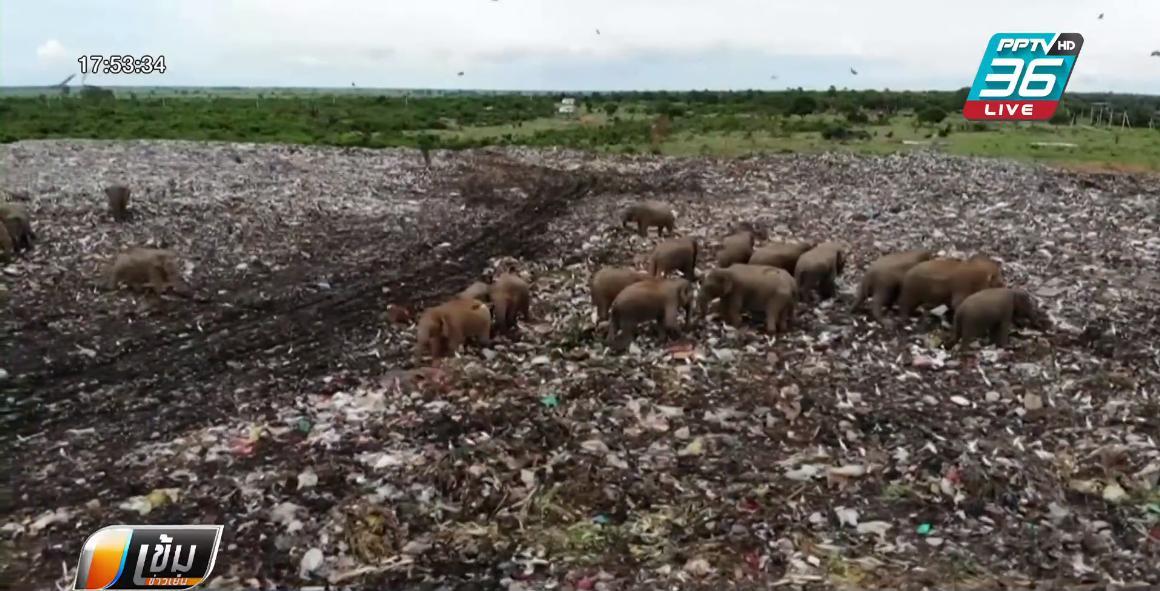 สะเทือนใจ! ช้างป่าศรีลังกา หิวโซ คุ้ยหาอาหารกลางบ่อขยะยักษ์