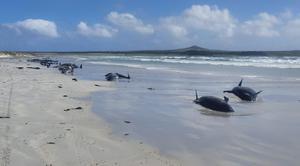 วาฬนับร้อยเกยตื้นตายชายหาดนิวซีแลนด์