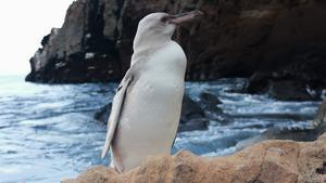 พบเพนกวินสีขาวหายากในหมู่เกาะกาลาปากอส