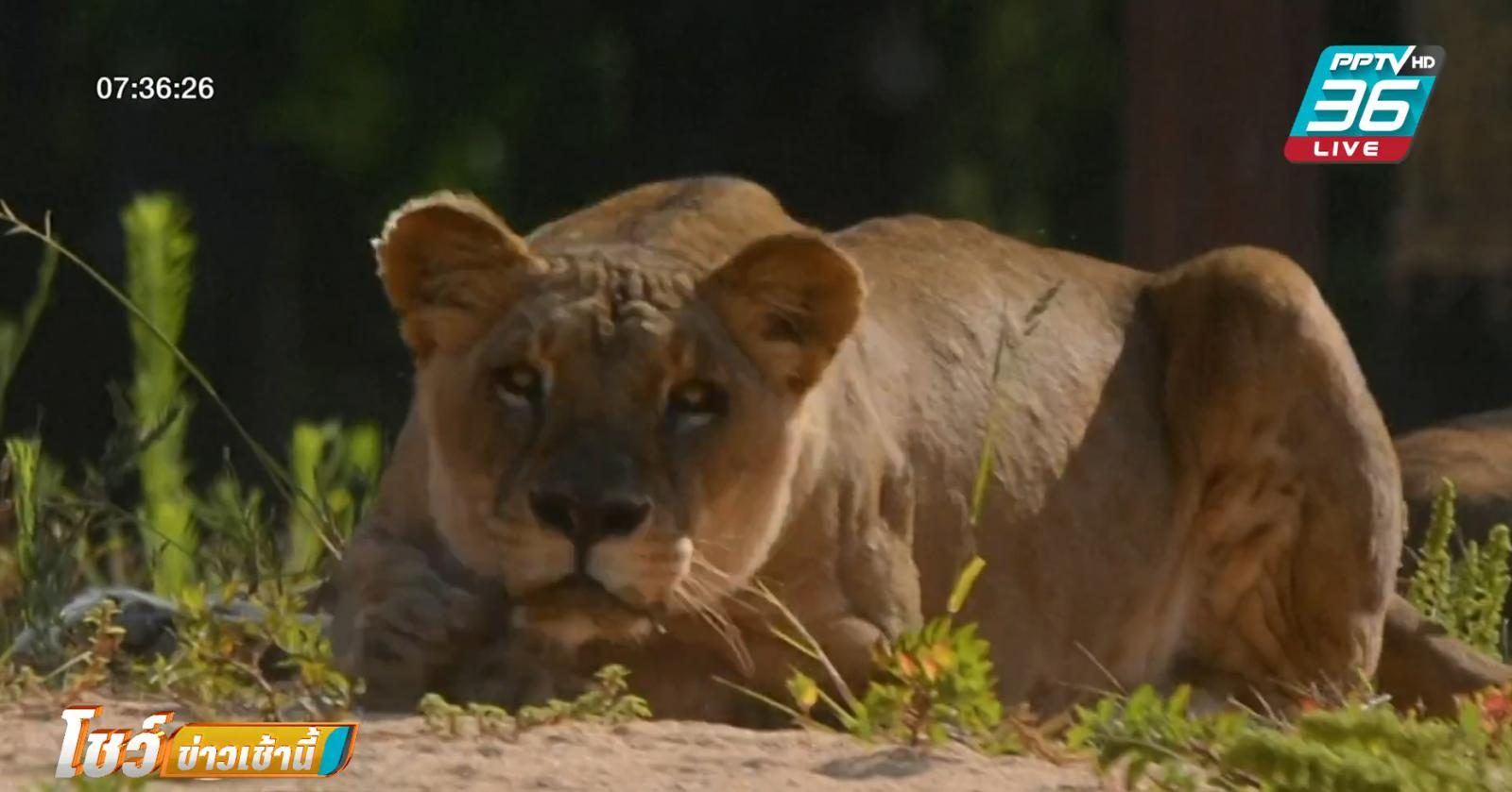 สิงโตในสวนสัตว์สเปน 4 ตัว ติดโควิด-19