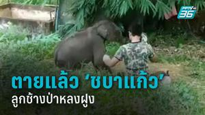 """น้องตายแล้ว! ลูกช้างป่าหลงฝูง """"ชบาแก้ว"""" เครียดจนติดเชื้อตาย สัตวแพทย์คาดอากาศเปลี่ยนแปลง"""