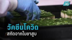 เปิดโครงการวัคซีนโควิด-19 เพื่อคนไทย สกัดจากใบยาสูบ