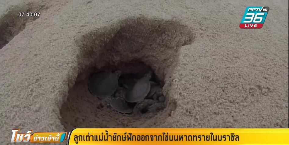 ลูกเต่าแม่น้ำ สายพันธุ์ใหญ่ ฟักออกจากไข่เกือบแสนตัว บนหาดทรายบราซิล