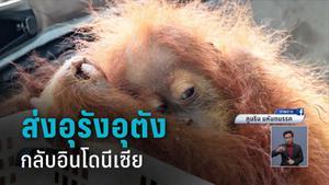 ส่งคืน 2 ลิงอุรังอุตัง กลับอินโดนีเซีย หลังจับแก๊งลักลอบค้าสัตว์ป่า