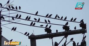 นกนับหมื่นรวมตัวกลางสี่แยกเมืองอ่างทอง