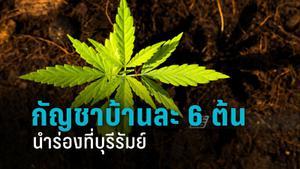 ไฟเขียวปลูกกัญชาบ้านละ 6 ต้นนำร่องที่บุรีรัมย์
