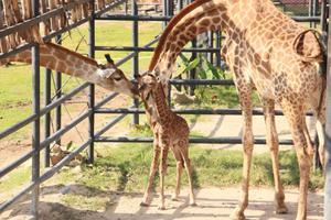 นักท่องเที่ยวลุ้น ! นาทีแม่ยีราฟตกลูก สวนสัตว์เปิดเขาเขียว ต้อนรับปีใหม่