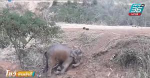 ช้างป่าลงกินน้ำในสระ ขาเจ็บขึ้นไม่ได้