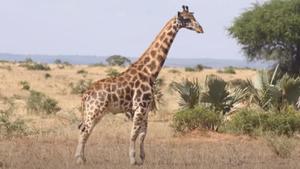 นักวิทย์ พบยีราฟแคระในนามิเบีย-ยูกันดา