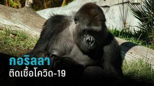 สวนสัตว์สหรัฐฯ พบกอริลลาติดเชื้อโควิด-19