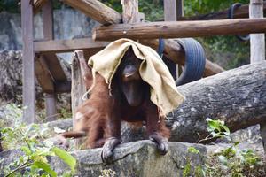 สวนสัตว์เขาเขียวให้กระสอบอุรังอุตัง ช่วยคลายหนาว