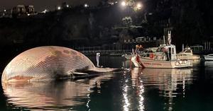 อิตาลีพบซากวาฬยักษ์ 70 ตัน