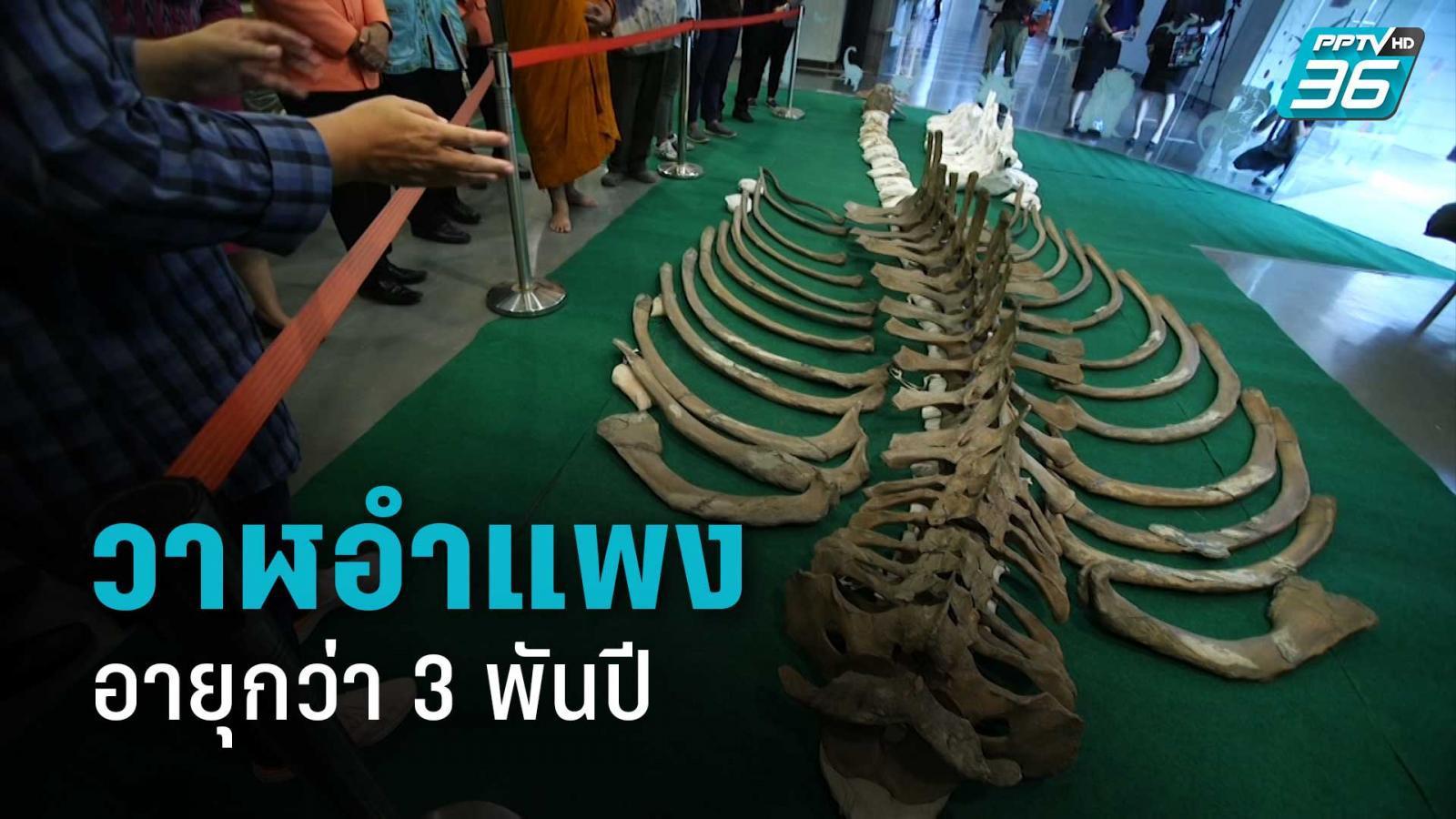 ทรัพยากรธรณี ชี้ วาฬอำแพงอายุกว่า 3 พันปี