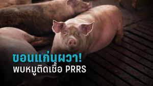 พบหมูติดเชื้อ PRRS สั่งปิดโรงฆ่าสัตว์