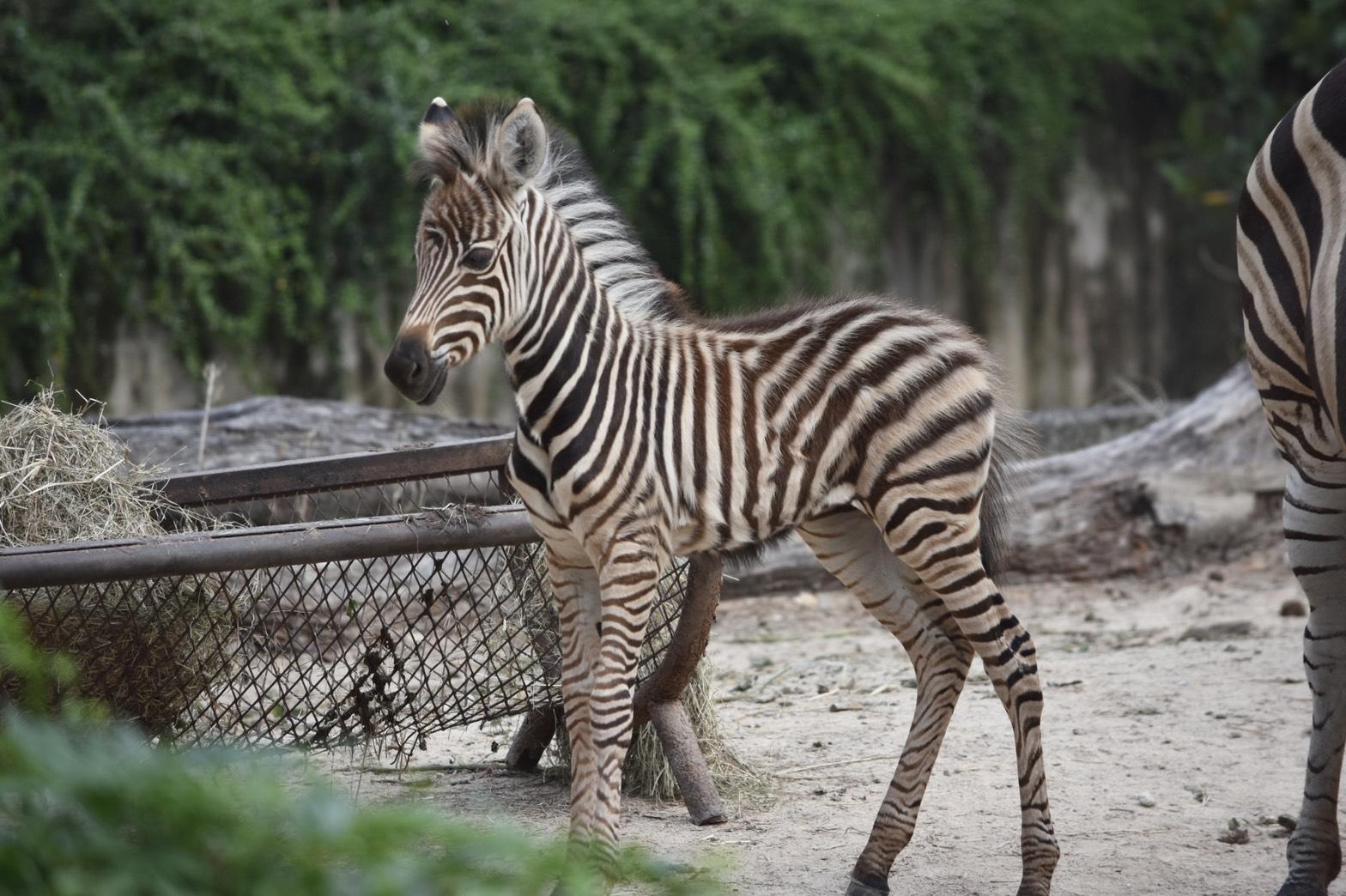 """สวนสัตว์เขาเขียว  อวดโฉมสมาชิกใหม่ """"ลูกม้าลายเบอร์เชล"""""""