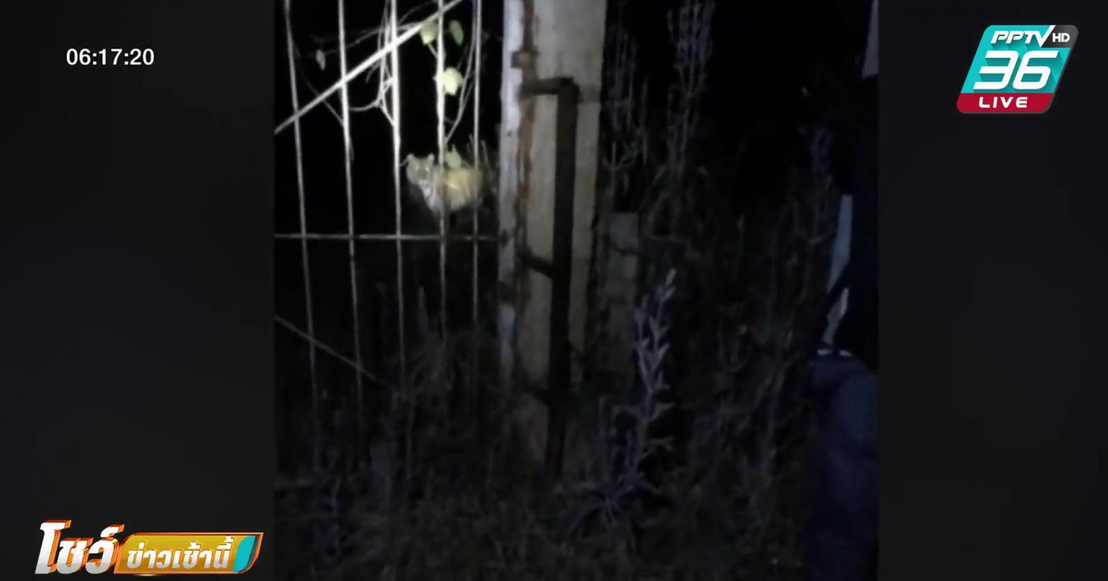 จับเสือหลุดจากสถานีเพาะเลี้ยงสัตว์ป่าเขาสน