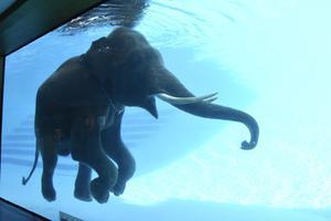 สวนสัตว์เขาเขียวโชว์ช้างว่ายน้ำ ที่เดียวในไทย