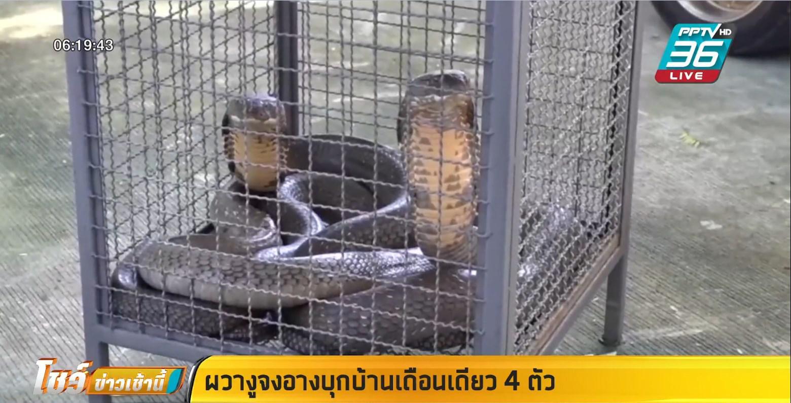 งูจงอาง 2 ตัวยาวกว่า 5 เมตรเข้าบ้าน เผย เดือนเดียวเข้าบ้านแล้ว 4 ตัว