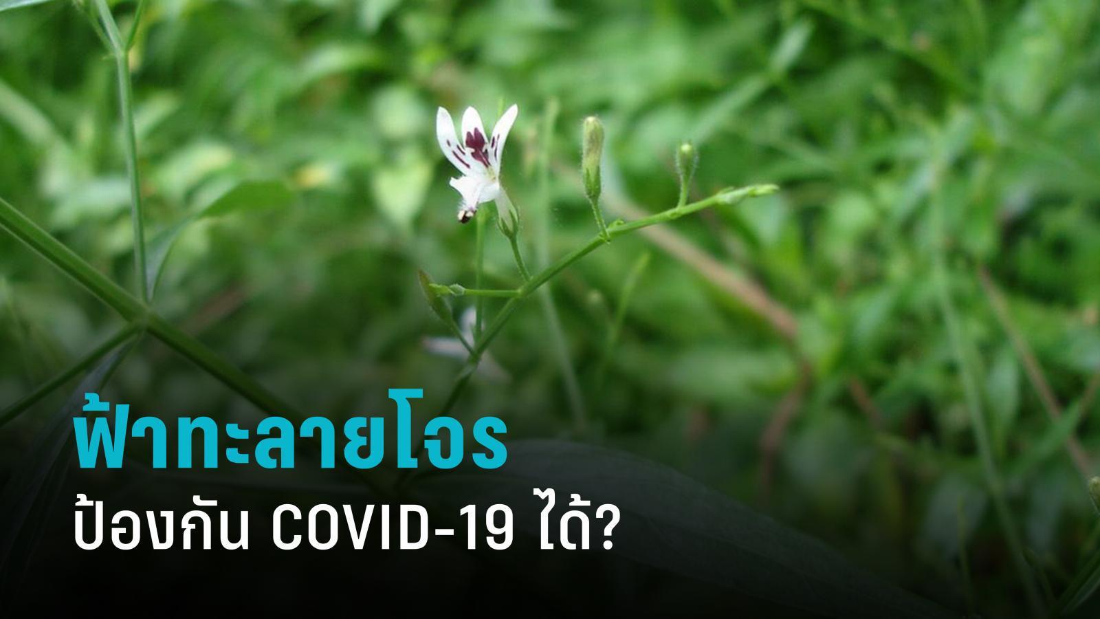 ฟ้าทะลายโจรป้องกัน COVID-19 ได้?