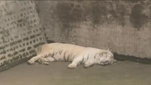 ลูกเสือโคร่งขาว 2 ตัวในปากีสถานติดโควิด-19 ตาย