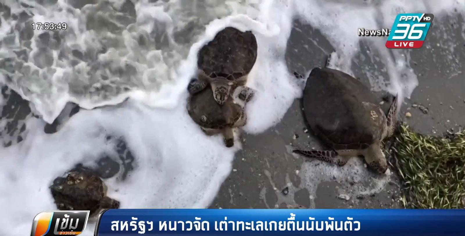 อากาศหนาว ถล่มสหรัฐฯ เต่าทะเลเกยตื้นนับพันตัว