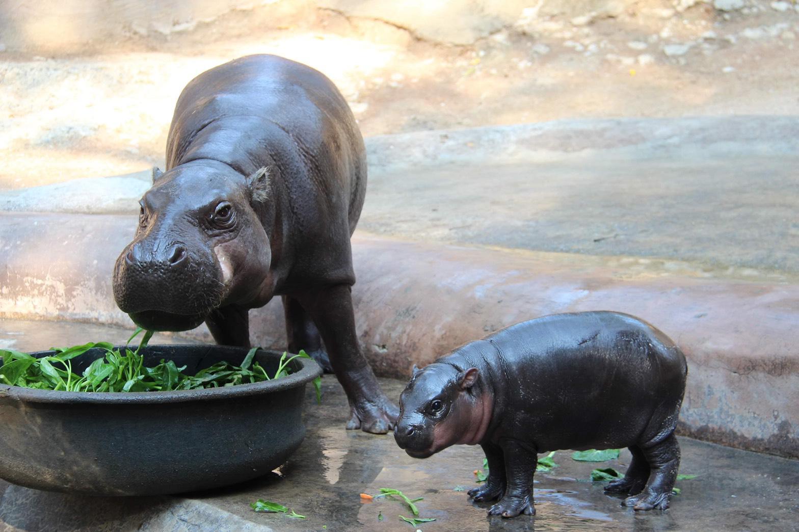 สวนสัตว์เขาเขียวเปิดตัว สมาชิกใหม่ลูกฮิปโปโปเตมัสแคระ