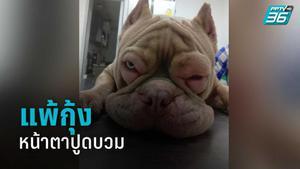 """เปิดใจ เจ้าของ """"สุนัขพิตบูล"""" หน้าตาปูดบวม ยอมรับไม่เคยรู้แพ้กุ้ง สัตวแพทย์แนะหมั่นสังเกตอาการ"""
