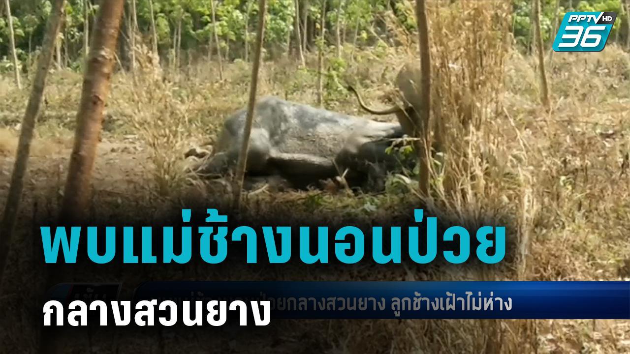 พบแม่ช้างนอนป่วยกลางสวนยาง ลูกช้างเฝ้าไม่ห่าง