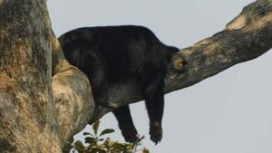 น้องหมีนอนหลับบนต้นไม้แบบไม่กลัวตก