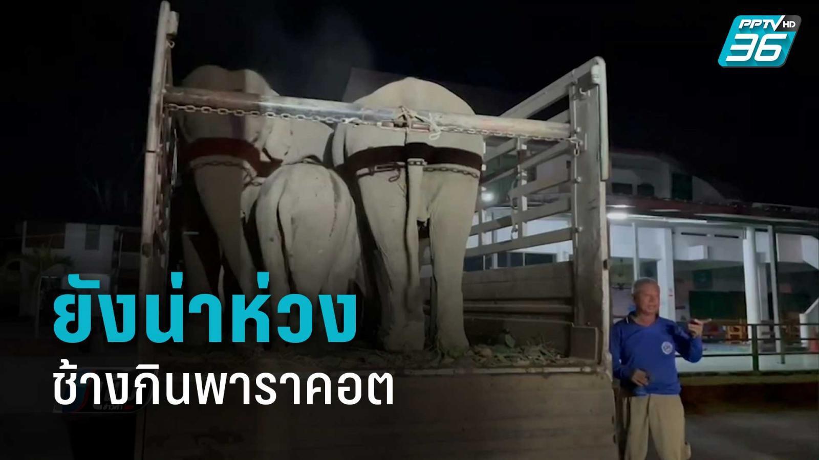อาการช้างกินพาราคอต ยังน่าห่วง สัตวแพทย์ดูแลใกล้ชิด