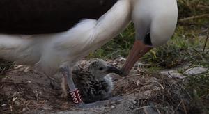 """""""นกอัลบาทรอส"""" อายุมากสุดในโลก วางไข่ให้กำเนิดลูกน้อย ในวัย 70 ปี"""