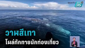 วาฬสีเทาโผล่ทักทายเรือนักท่องเที่ยว
