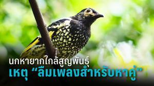 นกร้องเพลงบางชนิดใกล้สูญพันธุ์ เหตุลืมบทเพลงที่ใช้หาคู่