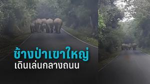 โขลงช้างป่าเขาใหญ่เดินเล่นกลางถนน เตือนนักท่องเที่ยว ห้ามจอดรถถ่ายรูป