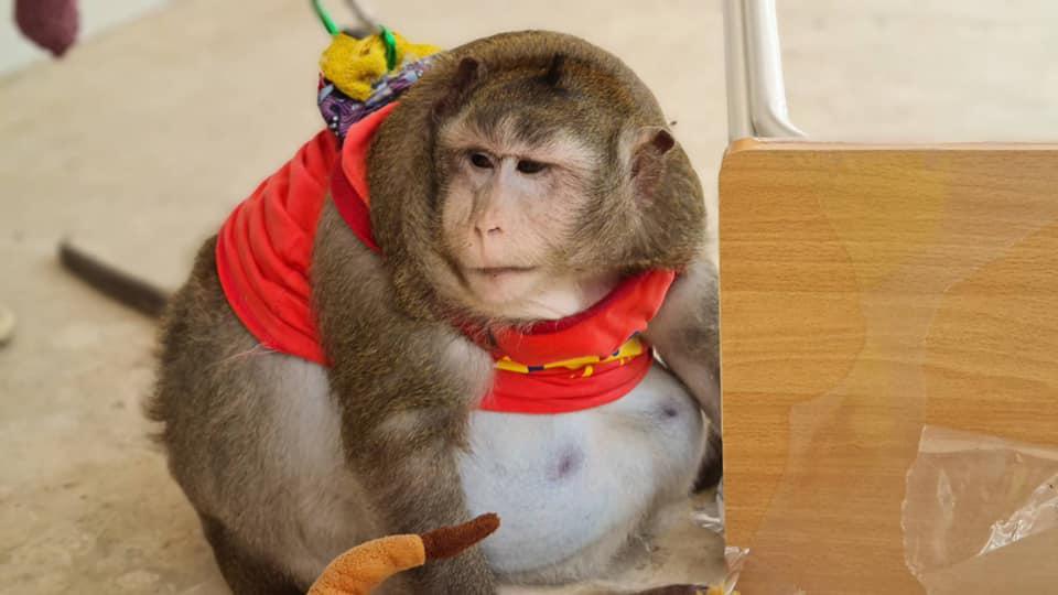 """""""เหยี่ยวดง"""" แจงดูแล """"ก็อตซิลล่า"""" ตามหน้าที่ ชี้ ลิงแสมต้องอยู่เป็นฝูง"""