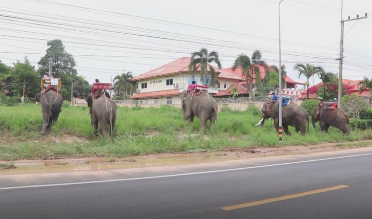 สงสาร! ช้างตกงาน เดินเท้าจากพัทยา กลับบ้านที่สุรินทร์