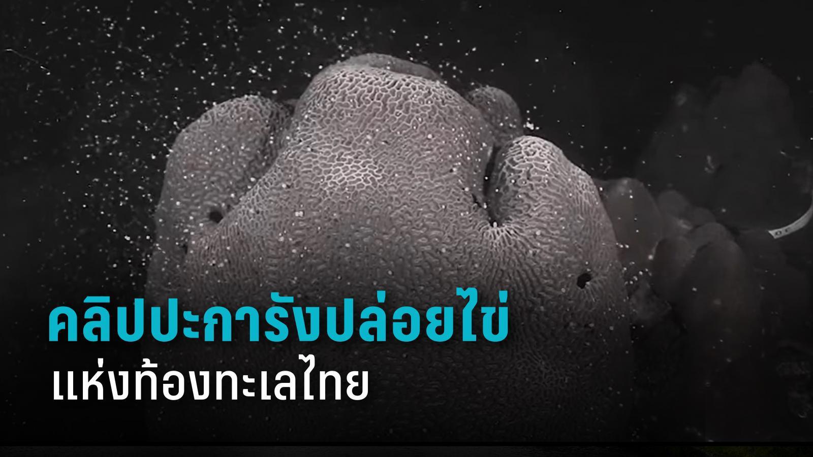หาชมยาก ปะการังปล่อยไข่ แห่งท้องทะเลไทย ณ เกาะมาตรา จ.ชุมพร