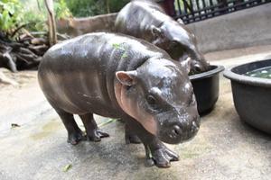 น้องหมูหวาน ลูกฮิปโปแคระ สมาชิกใหม่สวนสัตว์เขาเขียว