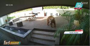 ตัวเล็กใจใหญ่ 2 หมาไล่หมี วิ่งหนีกระเจิง