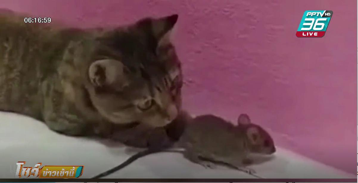 สาวเลี้ยงแมว หวังมาจับหนู สุดท้ายเล่นกับหนูแทน