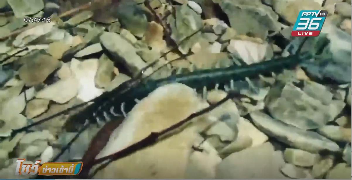 ตะขาบพันธุ์ใหม่ ครึ่งบกครึ่งน้ำ พบในรอบ 143 ปี ยาวกว่า 20 ซม.หนา 2 ซม.
